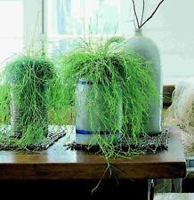 Rhipsalis Cassutha / baccifera~Mistletoe Cactus~Succulent~Hanging Plant~Starter