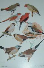 "1955 ""STAR - CRIMSON - DIAMOND FINCH"" Color Plate Bird Print"