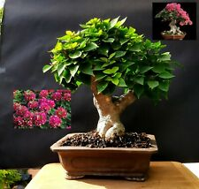 Bougainvillea SUNVILLEA ROSE  Bonsai - Approximately 25 years old plant