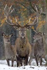 Ansichtskarte: der Platzhirsch - Rothirsch mit Harem im Schnee - red deer - cerf
