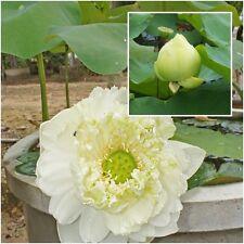 Nelumbo nucifera 5 Seeds, Lotus Seeds, White Flower Aquatic Plants Beautiful