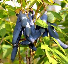 BLUE SAUSAGE FRUIT - 12 seeds - Decaisnea fargesii - Bonsai Himalayan Blue Bean