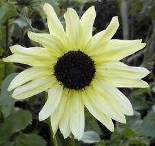 Sunflower Seed:Italian White Sunflower Seeds 40+ Seeds  FREE Shipping!