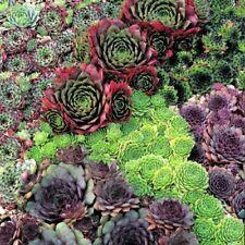 Winterharte Sempervivum Pflanzen, Kakteen & Sukkulenten