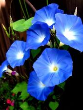 30 Heavenly Blue Morning Glory Vine Seeds  LOADS OF LARGE BLUE FLOWERS -COMB.S/H