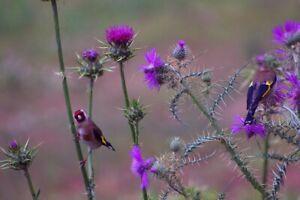 MILK THISTLE 20 seeds MEDICINAL herb flower garden Silybum marianum bee attract