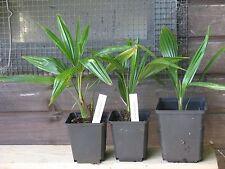 PFLANZE Trachycarpus fortunei Hanfpalme KEIN Import Palme Palmen