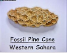 Boxed Fossil Pine Cone From Ancient Eocene Conifer Tree Western Sahara Desert