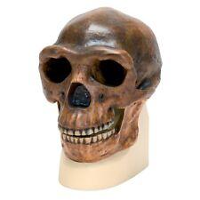 Enmarcado impresión-Homo erectus cráneo (Antropología animal humano Imagen Arte Mono)