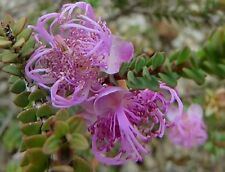 Melaleuca pulchella in 50mm forestry tube native plant