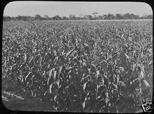 Glass Magic Lantern Slide FIELD OF MEDLIES C1910 PHOTO MAIZE CORN PHOTO FARMING