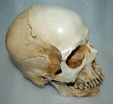Collectable Resin Replica 1:1 Life Human Anatomy Skull Medical Halloween Party