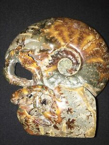 312 Ammonite Fossil With Tentacles