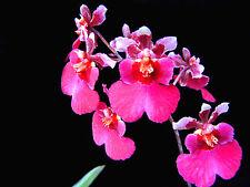 Tolumnia Jairak Rainbow 'Soft Pink' (Equitant Oncidium - Clone)