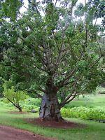 Baobab Tree (Adansonia Digitata )  10 seeds