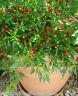 🔥 🌶️ Zimmerchili APACHE Chili 10 Samen Chiliernte das ganze Jahr alte Sorte