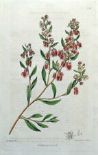 POLYGONUM BUCKWHEAT Edwards Original Antique Botanical Vintage Plant  Print 1818
