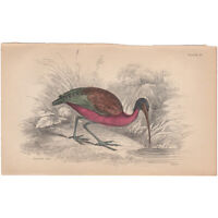 Jardine/Lizars antique hand-colored engraving bird print Pl 10 Glossy Ibis