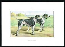 Gascon Saintongeois Scenthound, Hunting Pack Dog Breed - 1960 Vintage Print