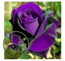 Purple Rose Bonsai Germany Rare Dragon Rose Flowering Plants Home Garden 100 Pcs
