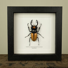 Stag Beetle in Box Frame (Odontolabis Mouhoti Elegans)  insect taxidermy