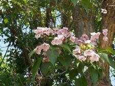 Catalpa Fargesii - Chinese Bean Tree - Rare Tropical Plant Tree Seeds (10)