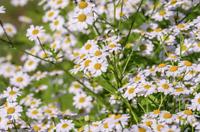 1000/12000 Graines Camomille Romaine Plante Vivace Fleur Herbe Aromatique
