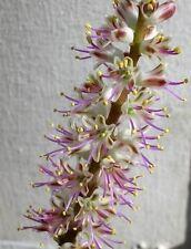 Lachenalia comptonii - Cape Hyacinth - Seeds