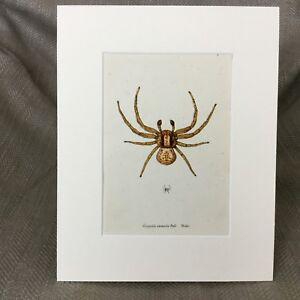 Antique Print Spiders Crab Spider Arachnid Ozyptila Creepy Crawlies Bugs Art