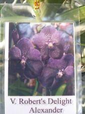 Orchid Vanda Robert's Delight Alexander Mad Happenings Special Tropical Plant