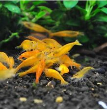 10+1 Orange Freshwater Shrimp Neocaridina. Homebred, Live inverterbrate