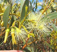 EUCALYPTUS EREMOPHILA or TALL SAND MALLEE 50 seeds