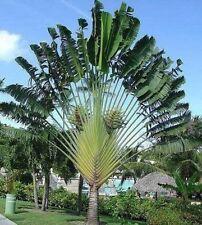 Ravenala Palmen Duftstrauch Sichtschutz Düfte für den Balkon Garten die Terrasse