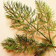 HERB FENNEL - BRONZE LEAVED - 180 Seeds [..anise flavoured thread-like foliage!]