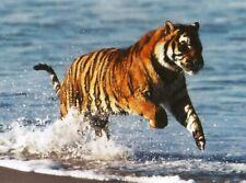 Postcard Bengal Tiger (Panthera Tigris) in Surf - Stuart Westmoreland Photo MINT