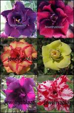 """NEW!! Adenium Obesum Desert Rose """"Mixed"""" 6 Plants 6 Types RARE!"""