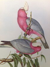 Antique Old JOHN GOULD Lithograph Art Print COCKATOO Parrot Rose Breasted Bird