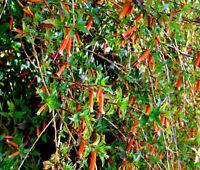 CIGAR PLANT MIXED COLORS Cuphea Ignea Coan - 200 Bulk Seeds
