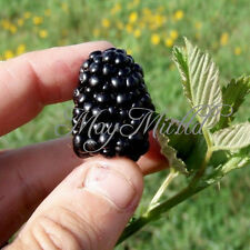 Organic 20 Blackberry Seeds Black Berry Triple Crown Mulberry S