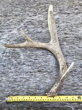 Half Of A Deer Rack Antler 4 Points Whitetail Deer Bone Crafts