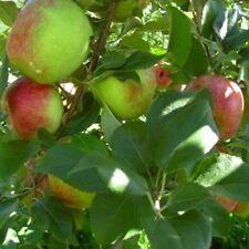 New listing 1 Honey Crisp Apple Tree *2-3 Ft* Flowering Fruit Trees grafted tree