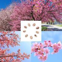 10 graines de cerisier en fleurs Bonsai Tree, Fower, Beautiful Pink