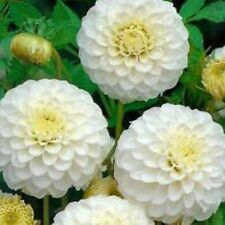 Dahlia Bulbs - PETRA'S WEDDING - New Variety - Excellent Cut Flowers - 2 Bulbs