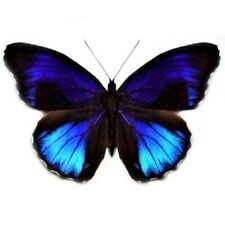 Eunica excelsa One Real Butterfly Blue Peru Unmounted Wings Closed