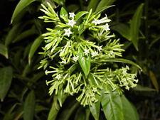 Cây Dạ Lý Hương - Night Blooming Jasmine - Bigger Trunk - 2 to 3  Feet Tall