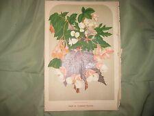ANTIQUE 1879 FLOWERING SCARLET BEGONIA FLOWER CHROMOLITHOGRAPH BOTANICAL PRINT N