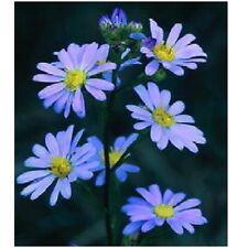 80 graines d'ASTER BLEU D'AUTOMNE(Aster Azureus)X199 SKY BLUE ASTER SEEDS SEMI