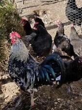 10+ Greenfire Isbar Green Hatching Eggs! Npip Ai Clean! Free Ship!