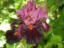 """Schwertlilie / Iris """" Fiery Temper """""""