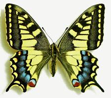 PAPILIO MACHAON (=saharae ssp.?)MELITENSIS*** female *** MALTA